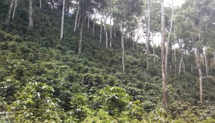 Både kaffe og kakao trives best i skyggen til andre trær, forteller Kauê de Sousa. Problemet er at disse trærne også vil påvirkes av klimaendringer. (Foto: Kauê de Sousa)