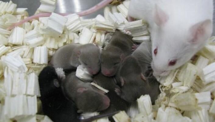 Disse musungene ble unnfanget i prøverør. Sædcellene fra musefar hadde vært ni måneder på den internasjonale romstasjonen ISS. (Foto: PNAS)