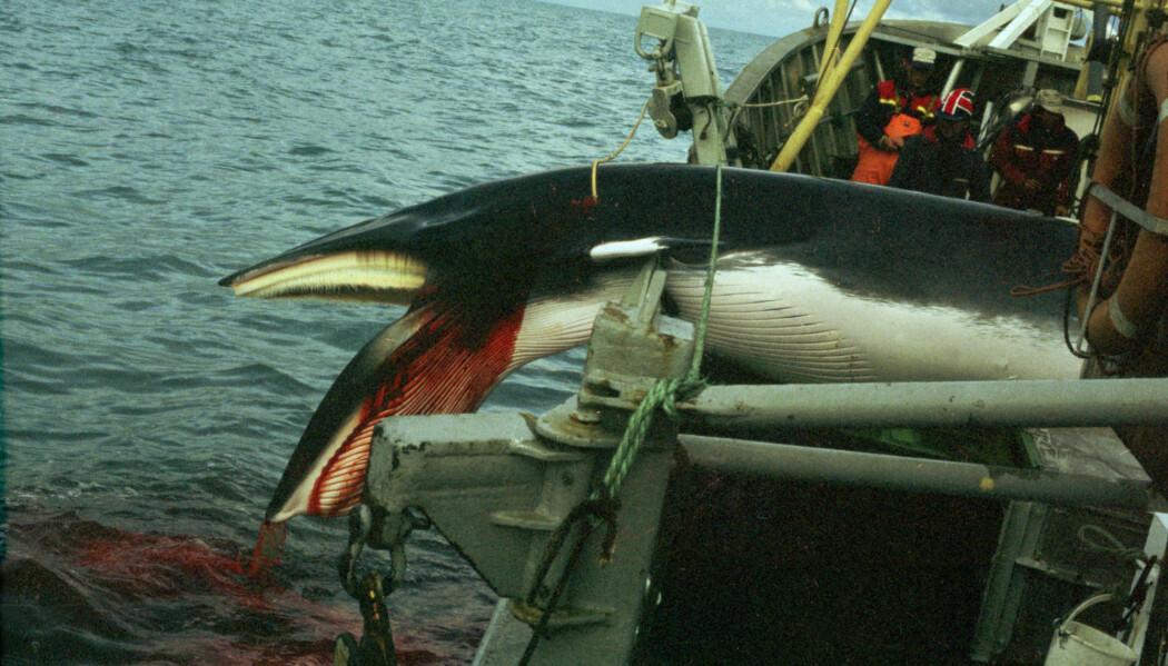 Norge tillater jakt på vågehval og har motsatt seg internasjonalt forbud mot handel med arten. (Ingeborg Hauglid / NTB / SCANPIX)