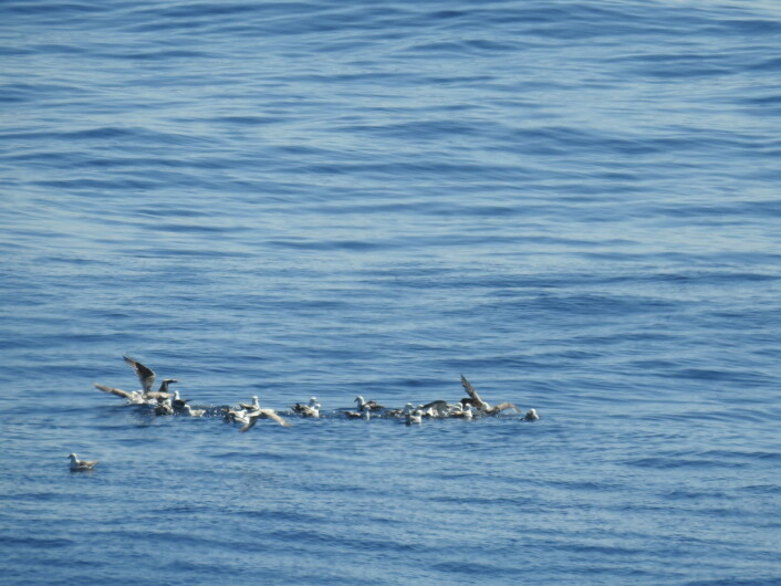 I en kort periode samlet det seg noen måker og havhester i forsøksområdet, men ingen av disse ble skadet av olje. (Foto: Arne Follestad)