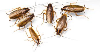 Tyske kakerlakker blir fort mange. (Foto: Colourbox)