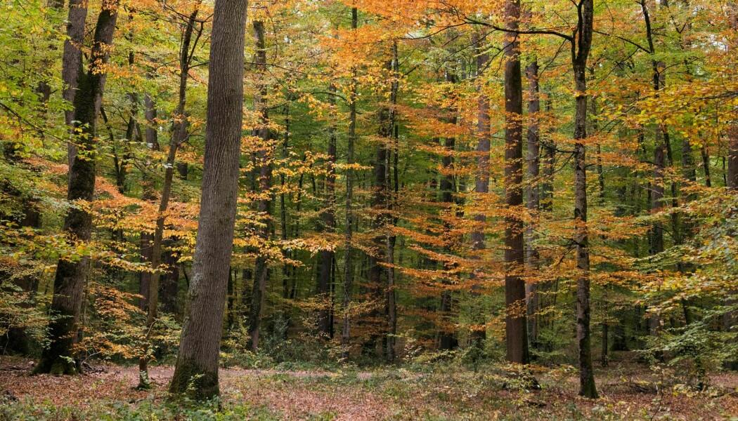 En eikeskog i Frankrike. (Bilde: Thierry Zoccolan / AFP)