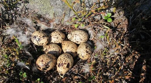 Eggplyndring kan ødelegge rypebestand