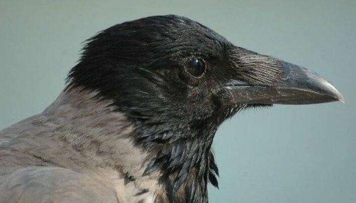 Mistenkt nummer en: Merker på jukse-egg som forskere la ut viste at det var flest fugler blant eggtyvene, antakelig mest kråkefugl. (Francisco M. Marzoa Alonso/ Wikimedia Commons/ CC-by-sa-2.5).