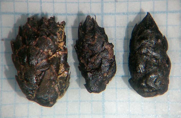 Hannraklar frå pors. Både raklar frå hannplantar og frukt frå hoplantar er vanlege i prøvene. Millimeterpapir i bakgrunnen. Foto: Maria Sture