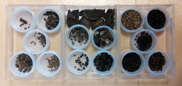 Frø som er sorterte ut frå ei makroprøve. Foto: Maria Sture
