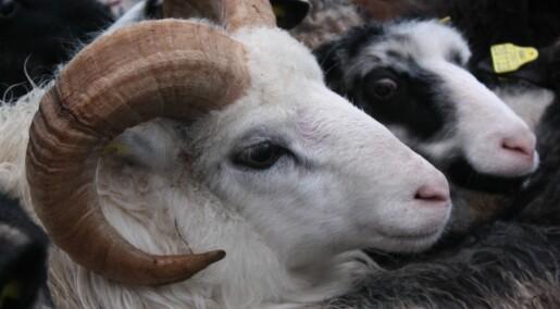 Kronikk: Vi må ta vare på ulla fra villsauen