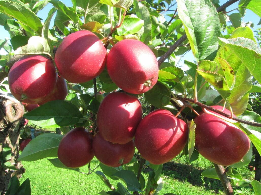 2019 blir nok et toppår for epler, ifølge prognosene. Her den populære eplesorten Summerred. (Foto: frukt.no)