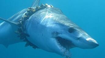 Hundrevis av haier og rokker vikles inn i plast og fiskeutstyr, ifølge ny kartlegging