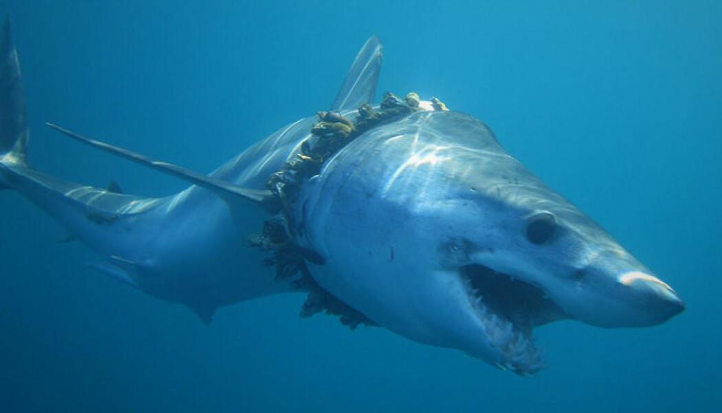 Mellom 4,8 og 12,7 millioner tonn med plast forsvinner årlig ut i havet. Denne haien har blitt surret inn i fiskesnøre. (Foto: Daniel Cartamil)