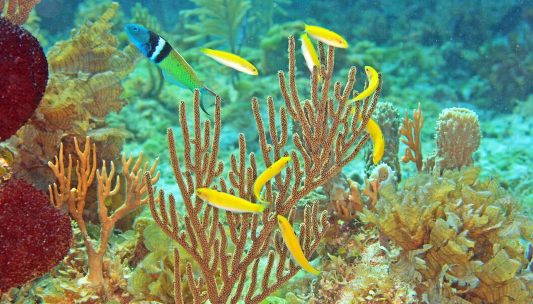 Gule hunnfisk lever i harem med en blåhodet leppefisk-hann. En av de gule hunnene vil bli hann i løpet av kort tid, hvis den blåhodete hannen forsvinner. (Foto: Kevin Bryant)