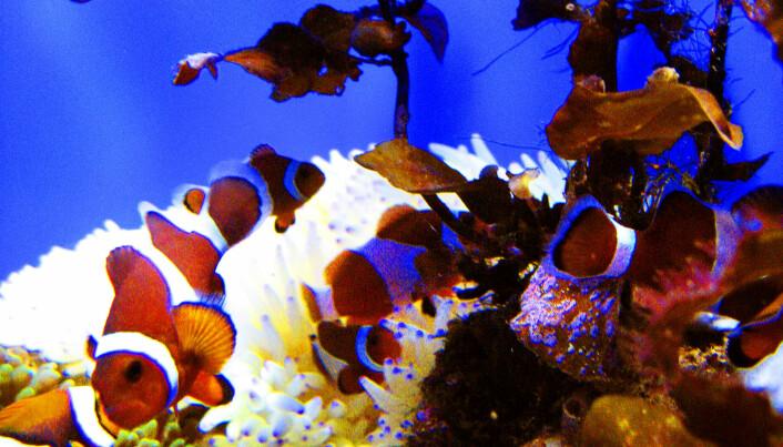 Klovnefisken, kjent fra animasjonsfilmen Oppdrag Nemo, er en av fiskeartene som kan skifte kjønn. (Foto: Lise Åserud/Scanpix/NTB)