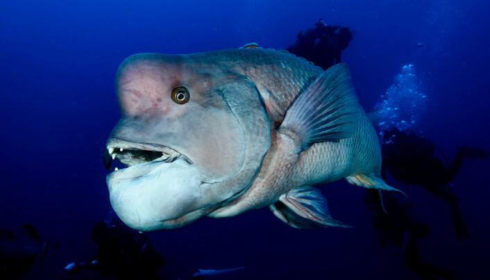 Kobudaifisken, kjent fra TV-serien Blue Planet II, kan skifte kjønn fra hunn til hann. Den er også kjent under navnet asiatisk sauehodet leppefisk. (Foto: Shutterstock)