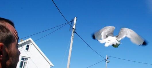 Disse fuglene legger fra seg elektroniske spor