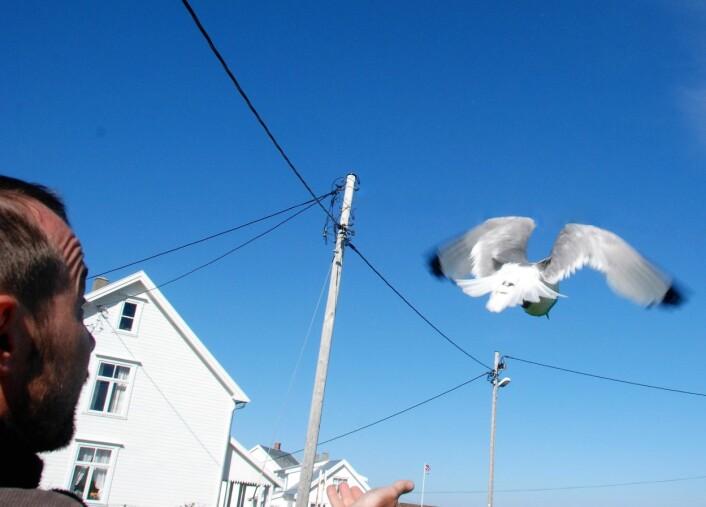En krykkje med GPS-logger slippes fri. Loggerne er festet slik at den skal forstyrre fuglen minst mulig. (Foto: Signe Christensen-Dalsgaard)