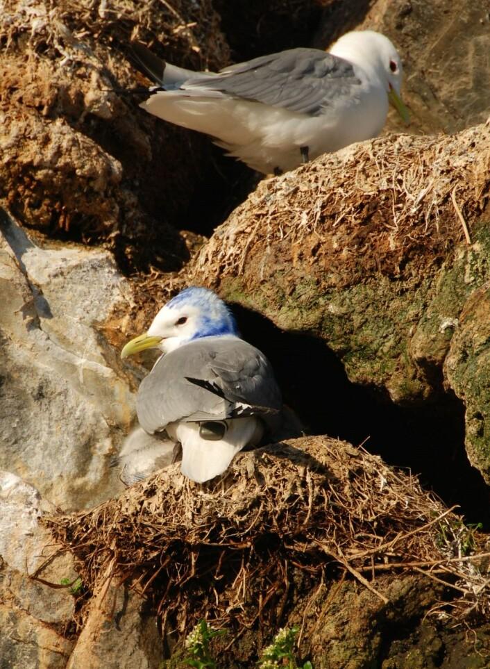 En krykkje utstyrt med GPS-logger hviler på reiret. Fuglen er farget blå som en del av et studie om slik instrumentering har effekt på fuglene. (Foto: Signe Christensen-Dalsgaard)