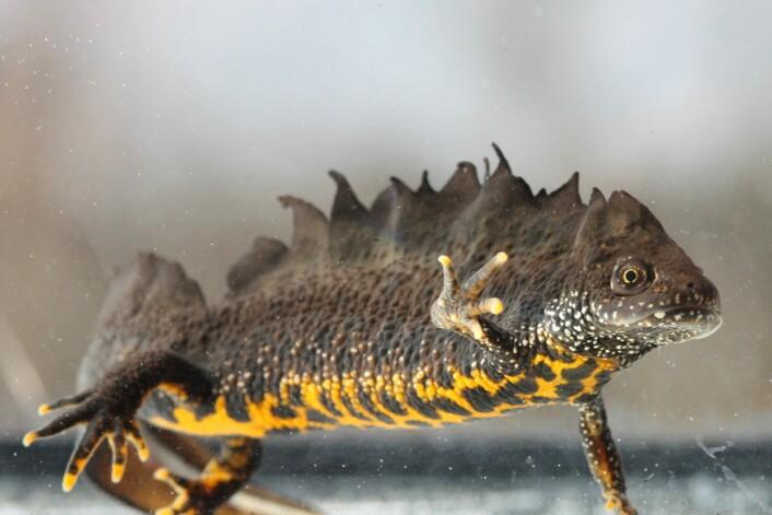 Storsalamanderhann. Ofte finn vi salamander i tun- eller vatningsdammar, og skogsdammar. Dei er rovdyr som et insekt, meitemark og andre småkryp. (Foto: Leif Åge Strand)