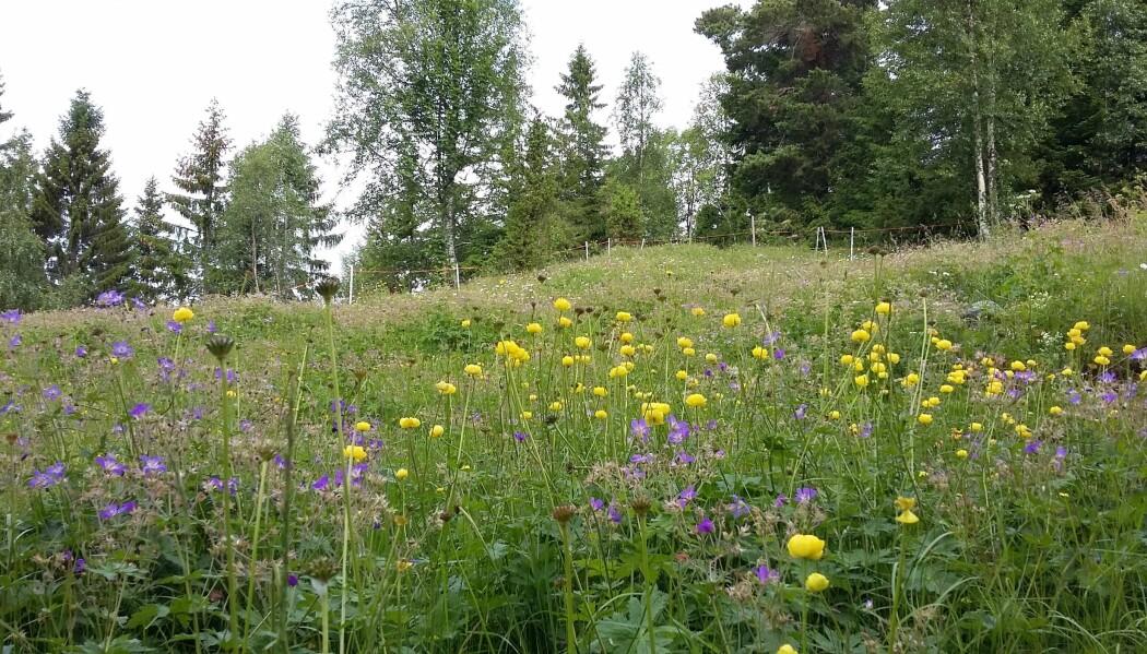 Blomsterenger er flotte å se på og livsviktig for pollinerende insekter. (Foto: Ellen Svalheim).