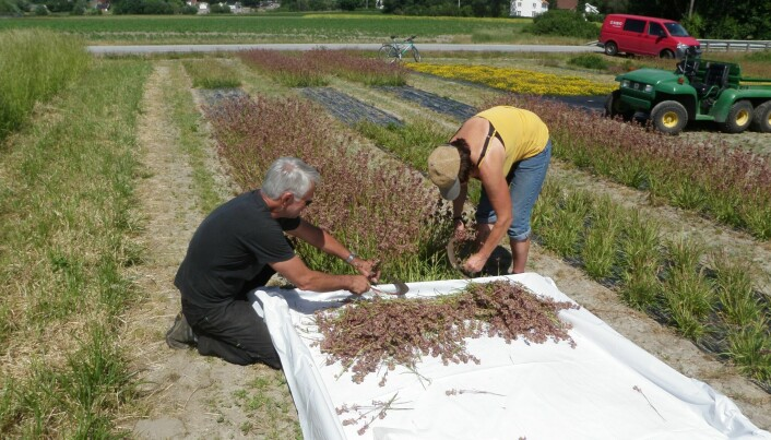 Frøhøsting av tjæreblomst. (Foto: Trygve Aamlid).