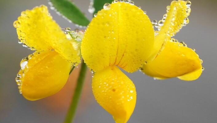 Tirilltunge finnes i blomsterenger over hele landet. (Foto: Ove Hetland).