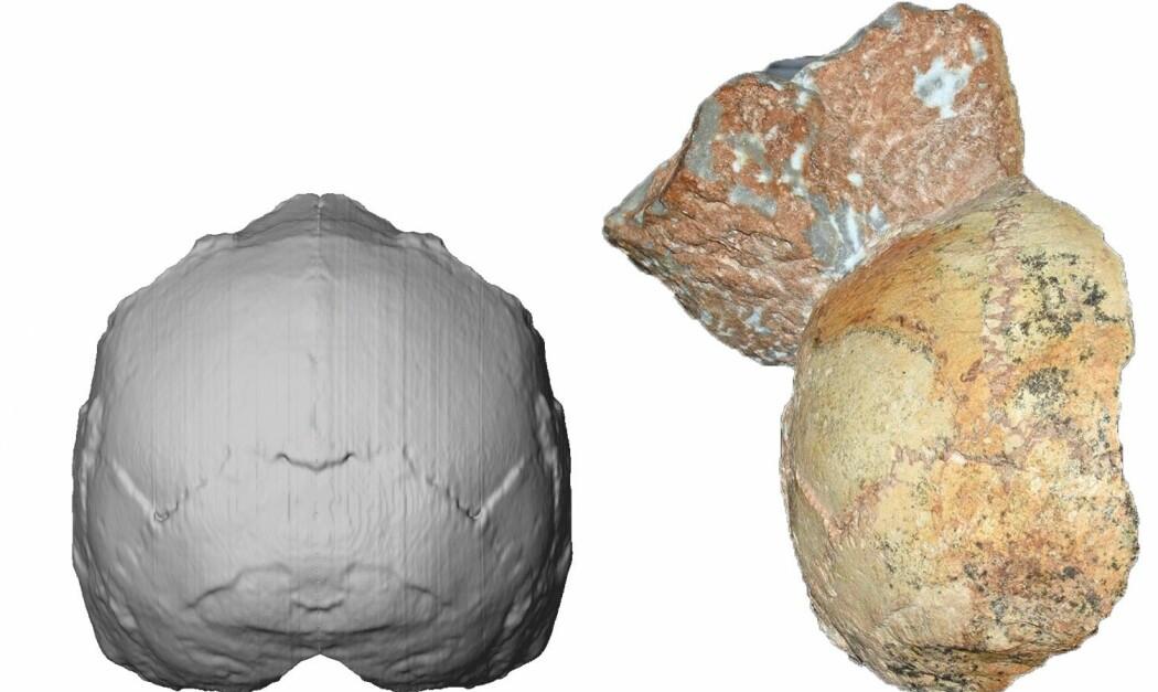 Rekonstruksjon av skallen som kan ha tilhørt et tidlig moderne menneske som døde i Hellas for over 200 000 år siden. Bakhodet som ble funnet er til høyre. (Bilde: Katerina Harvati, Eberhard Karls University of Tübingen)