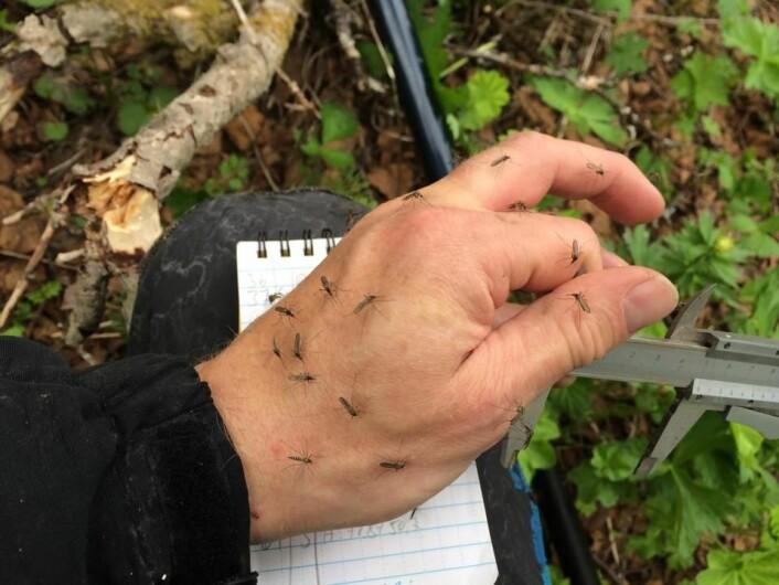 Mygg er også en del av feltarbeidet på Grindøya. (Foto: Sveinn Are Hanssen)