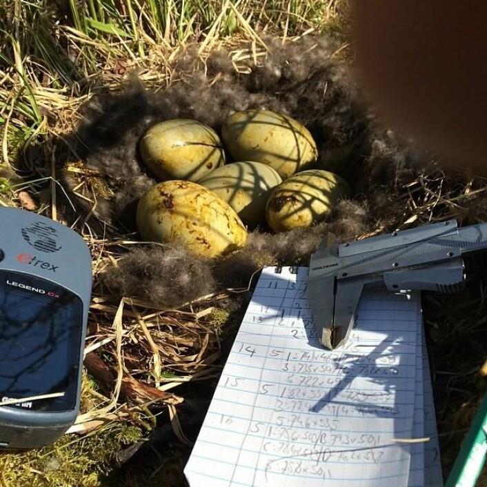 Telling og måling av egg er en viktig del av feltarbeidet. (Foto: Sveinn Are Hanssen)