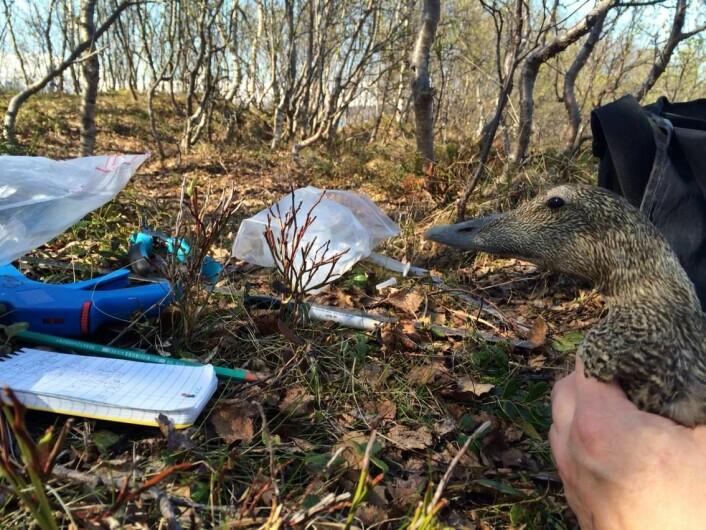 Feltarbeid med ærfugl på Grindøya utenfor Tromsø. (Foto: Sveinn Are Hanssen)