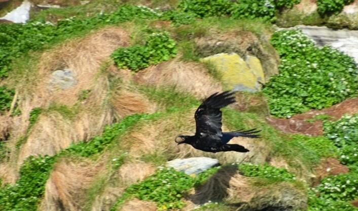 Men til slutt kan ravnen fly avgårde med byttet. Livet i fuglefjellet er nådeløst. (Foto: Helge M. Markusson, Framsenteret)