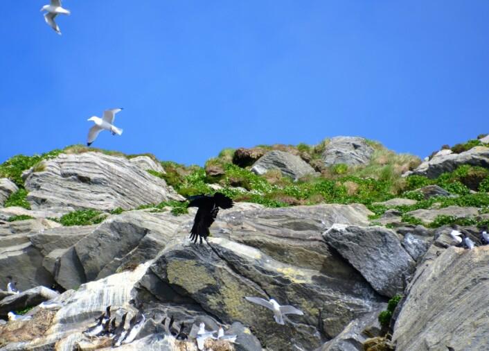En av fuglefjellets pøbler kommer. Ravnen har tatt sikte på et reir. Full alarm blant krykkjene. (Foto: Helge M. Markusson, Framsenteret)