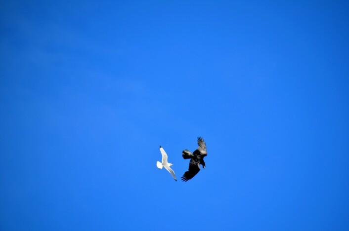 I et siste desperat forsøk prøver krykkja å ta egget tilbake fra ravnen, i lufta. (Foto: Helge M. Markusson, Framsenteret)
