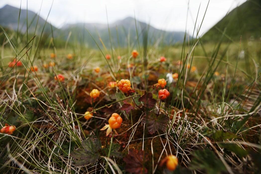 Fjorårets tørke kan ha hatt betydning for årets multer. Variert sommervær kan likevel gi «viddas gull» til ivrige bærplukkere. (Foto: Lise Åserud, NTB scanpix)