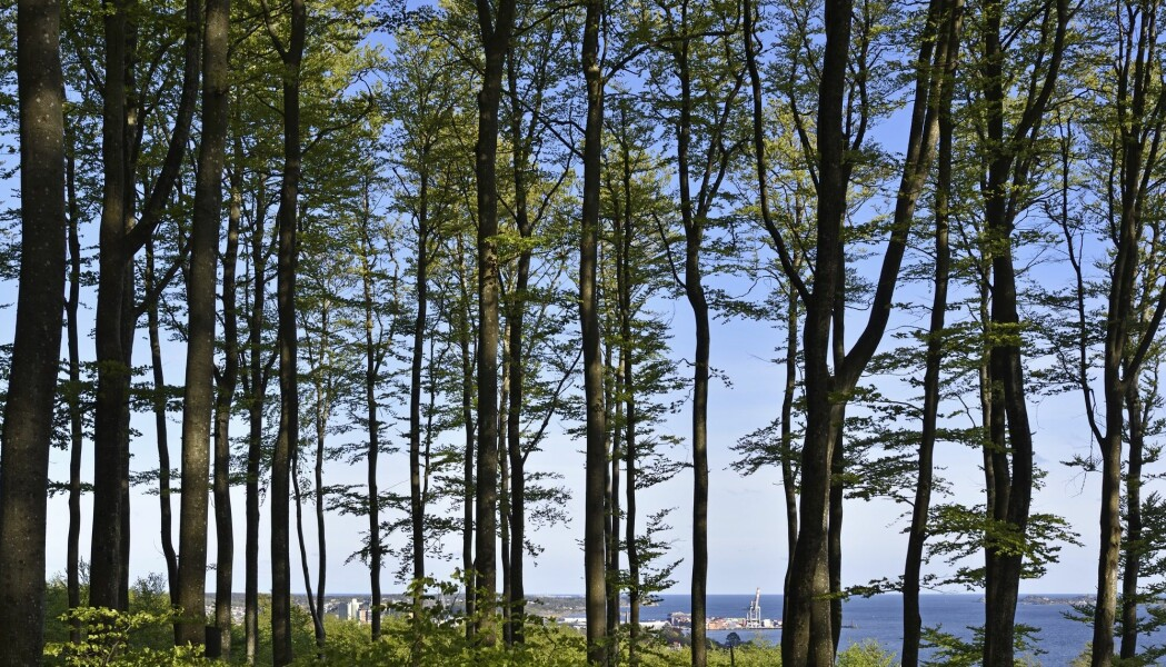 Rustrøde flekker og sår i barken er det første symptomet på at et tre er rammet. Herser du bøkeskogen i Larvik. (Foto: Thorfinn Bekkelund, Samfoto, NTB scanpix)
