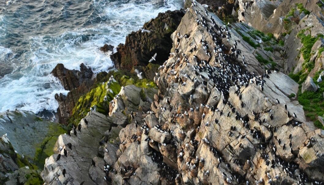 Fra å være nesten utrydda har lomvikolonien på Hornøya i Finnmark vokst seg opp til å bli stor og bærekraftig. Forskerne har lenge lurt på hva som skjedde. (Foto: Helge M. Markusson, Framsenteret)