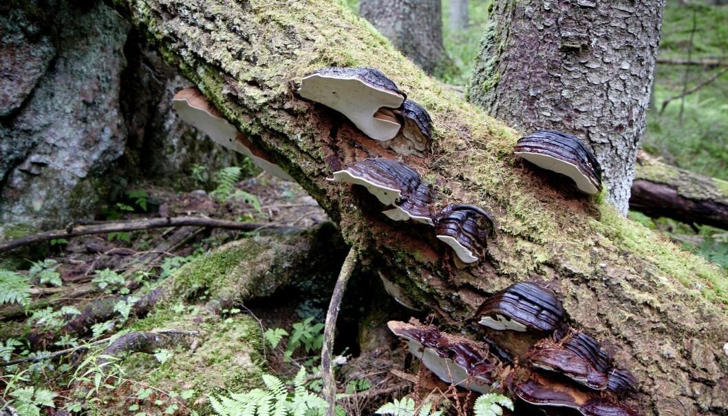 Gammel skog har mer død ved enn annen skog og inneholder dyr og vekster som er viktige for det biologiske mangfoldet. Her ser vi soppen flatkjuke på død selje. Nordmarka, Oslo. (Foto: John Yngvar Larsson, NIBIO)