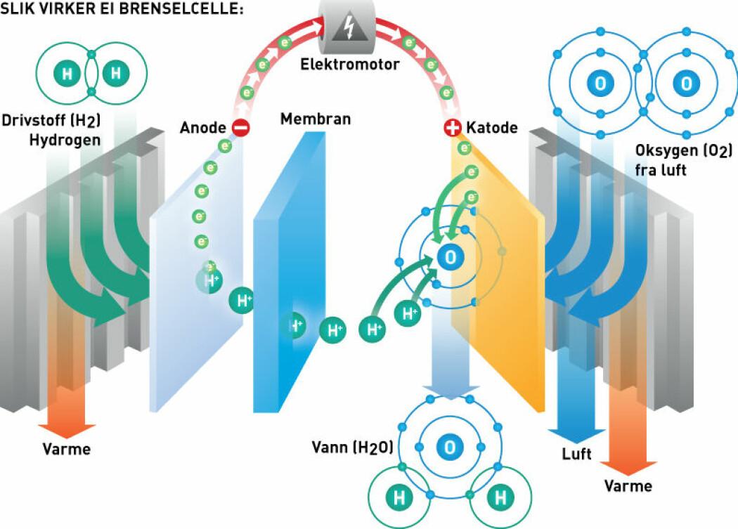 Slik virker en brenselcelle – minikraftverket i hydrogenbiler: Brenselcella omdanner hydrogen og oksygen (fra lufta) til elektrisk strøm, vann og varme. Hydrogen gir fra seg elektroner (e-) og blir til protoner (H+) på anoden. Protonene vandrer gjennom membranen, mens elektronene strømmer gjennom bilens elektromotor til katoden. Der slår elektronene seg sammen med protonene og ett oksygenatom og danner vann. (Illustrasjon: Raymond Nilsson/Sintef)