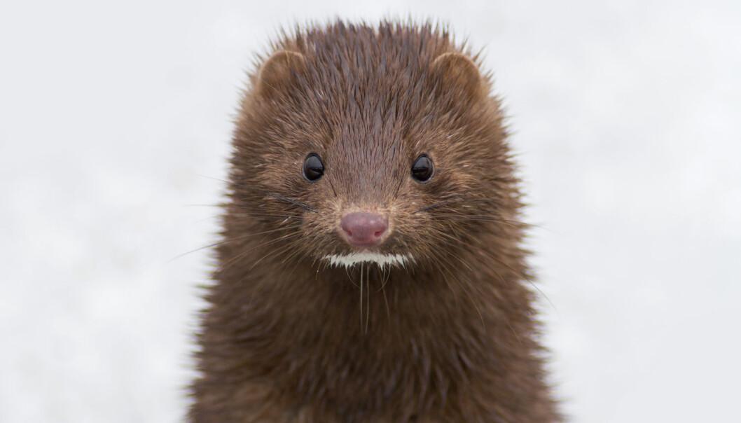 Visste du at minken er en fremmed art i Norge? Den kommer egentlig fra Nord-Amerika og ble introdusert i Norge i 1927. Den har hatt en klar negativ effekt i norsk natur, blant annet fordi den spiser sjøfugler og fisk langs kysten. (Foto: Trevor Jones / NTB scanpix)