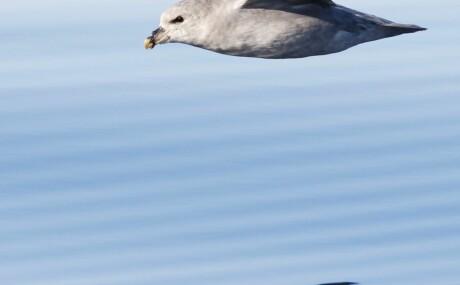 0483805a Dansk studie: Over ni av ti døde havhester svelget plast