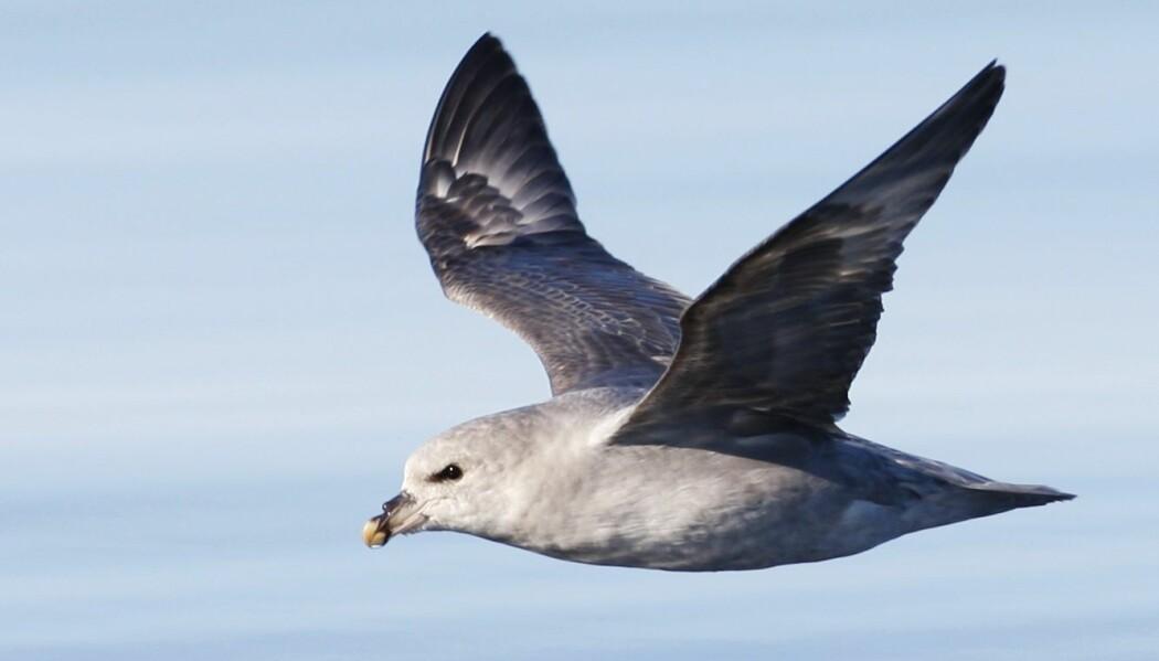 En dansk studie viser at over 95 prosent av døde havhester funnet i landet hadde svelget plast. (Foto: Håkon Mosvold Larsen, NTB scanpix)