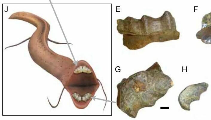 Rekonstruksjon av en utdødd lungefisk fra studien på den trans-sahariske sjøveien. (Foto: American Museum of Natural History)