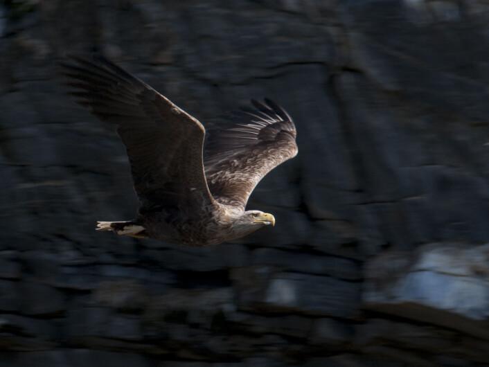Rovfugl, som denne havørna, er en konstant trussel for sjøfuglene langs kysten. (Foto: Geir Systad)
