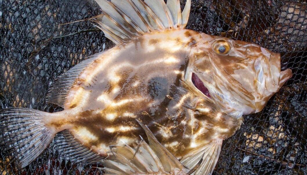 St. Petersfisk er no ein vanleg fisk i våre farvatn. (Foto: Øystein Paulsen / Havforskningsinstituttet)
