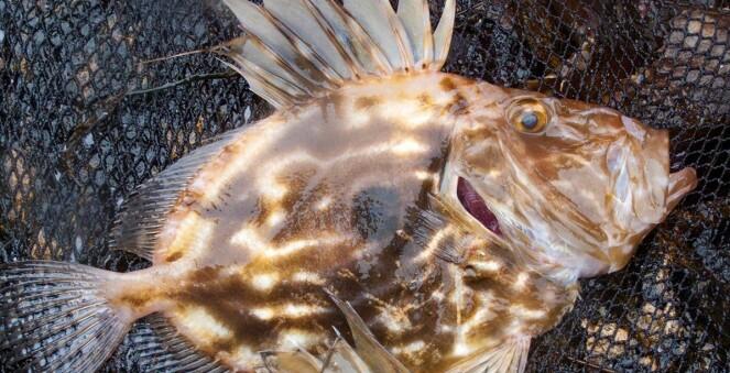 Dei mest vanlege uvanlege fiskeslaga i norske farvatn