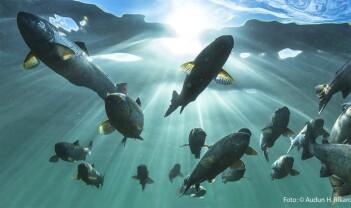 Laksens fantastiske vandringer i havet