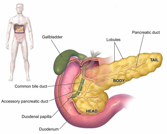 Bukspyttkjertelen. Den produserer flere viktige hormoner, som for eksempel insulin. (Foto: (Bilde: BruceBlaus/ CC BY 3.0))