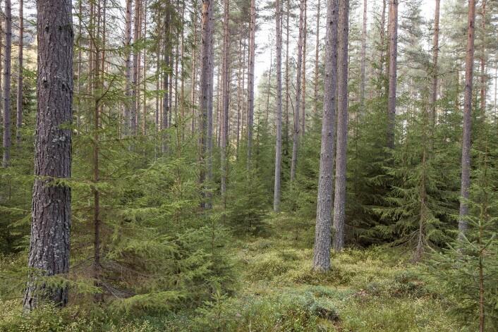Toetasjet skog med furu og smågran. Nes, Buskerud. (Foto: John Yngvar Larsson, NIBIO)
