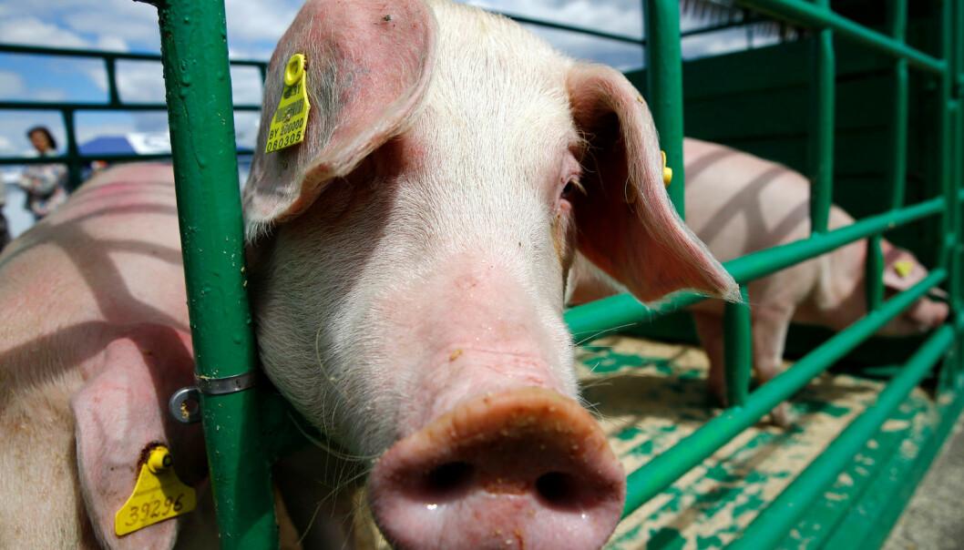 En grisebinge i Ukraina. En gang i framtiden kan kanskje menneskeorganer gros inne i griser. (Illustrasjonsbilde: Vasily Fedosenko/Reuters/NTB Scanpix)