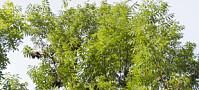 Forskere etterlyser friske asketrær
