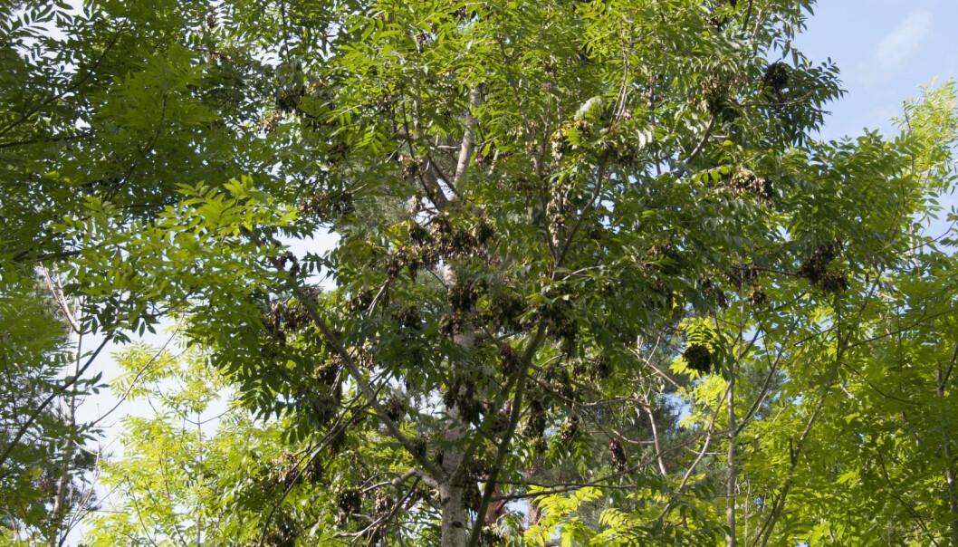 En ask med mye frø som kan gi treet et litt rufsete utseende på avstand. Men treet er friskt uten synlige symptomer på askeskuddsjuke. (Foto: Volkmar Timmermann, NIBIO.)