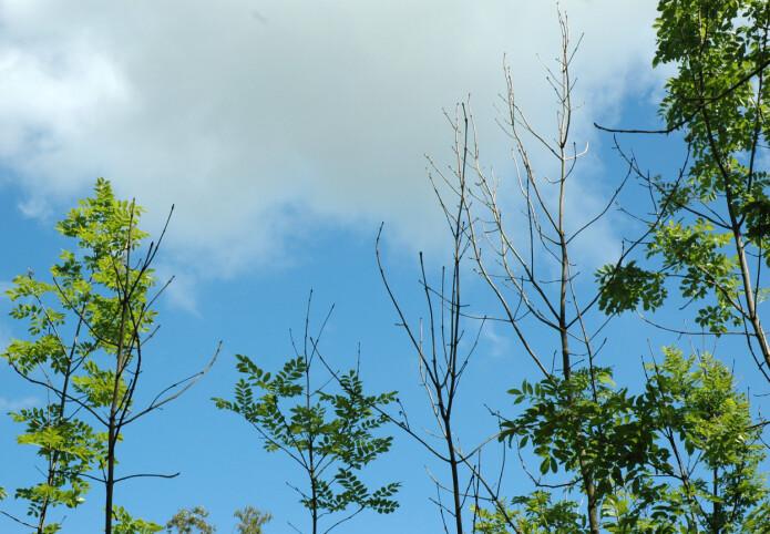 Bildet viser typiske symptomer på askeskuddsjuke hos unge asketrær: Døde topper og døde greiner som stikker ut av den øvre delen av krona. (Foto: Volkmar Timmermann, NIBIO)